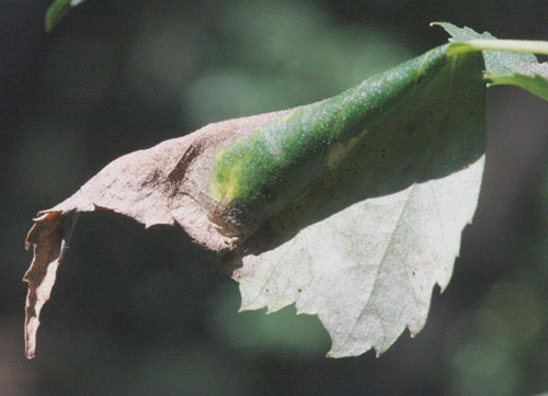 Caloptilia populetorum leaf roll