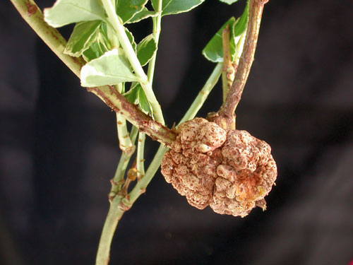 crown gall