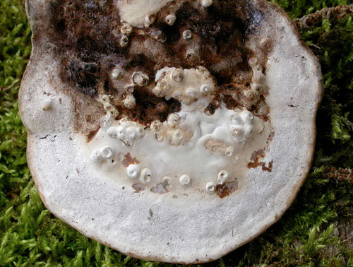 Agathomyia wankowiczii galls: on Ganoderma applanatum