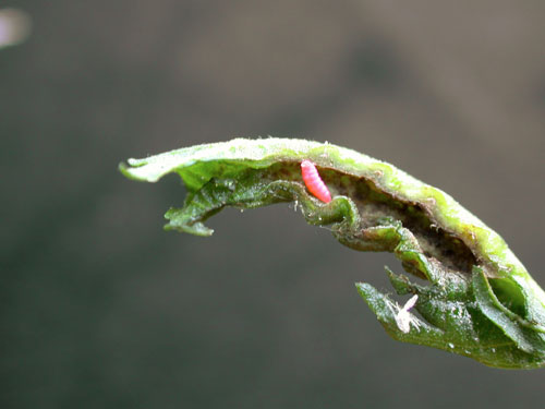 Dasineura tortilis: gall on Alnus glutinosa