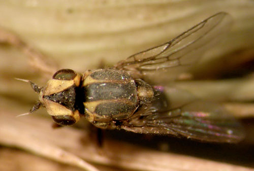 Chlorops strigulus fly