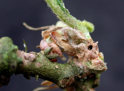 Stenolechia gemmella vacated gall