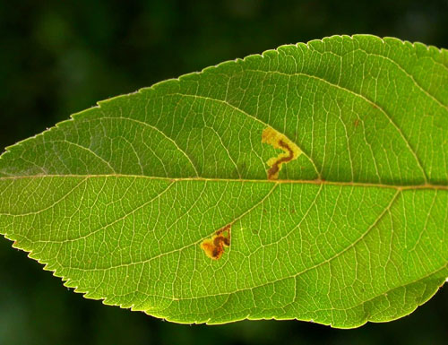 Stigmella incognitella mine
