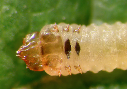 Metallus albipes larva