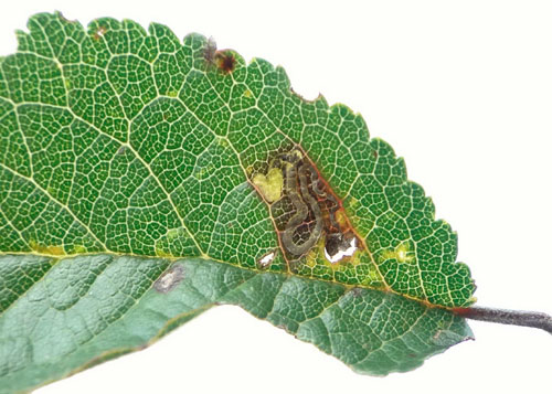 Stigmella prunetorum mine