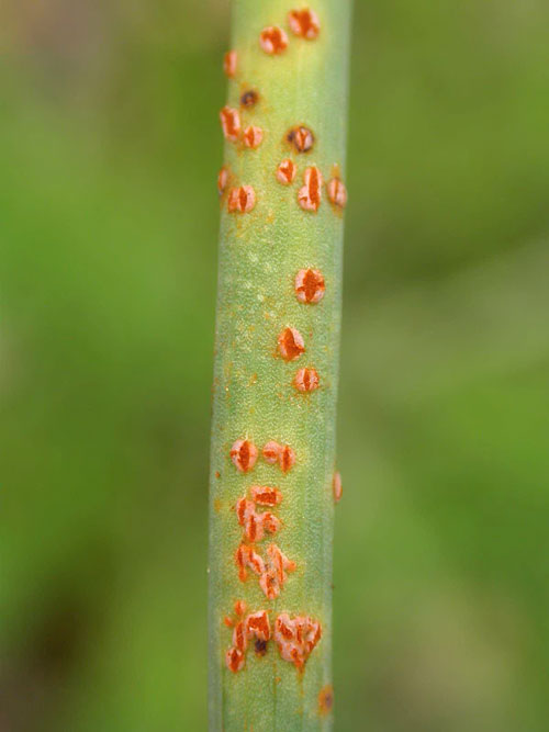 Puccinia allii