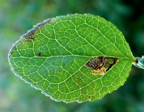 Stigmella myrtillella mine