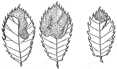 Phyllonorycter quercus mines