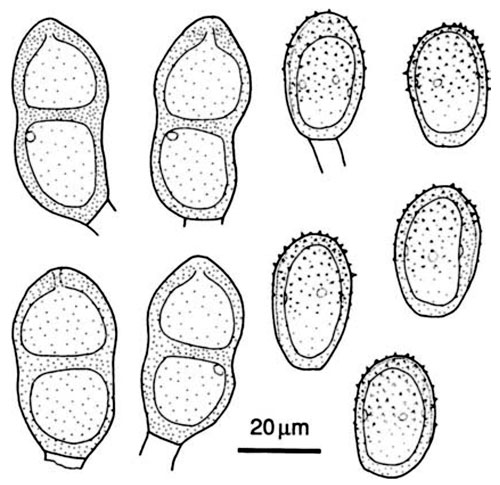 Puccinia conii: spores